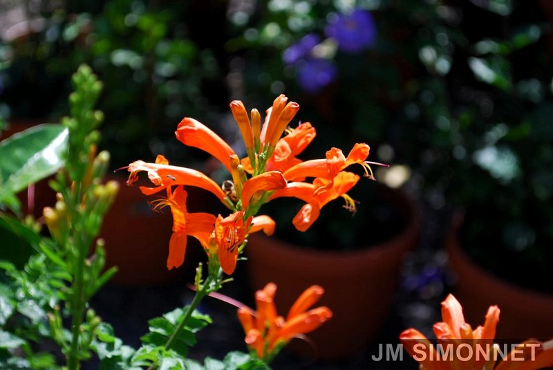 fleurs jasmin trompette ou chevrefeuille orange tecomaria capensis. Black Bedroom Furniture Sets. Home Design Ideas